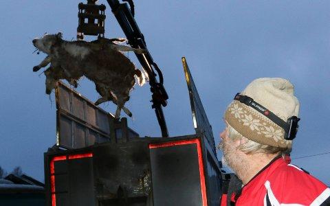 TRIST FARVEL: Her heises to av de fem drepte kalvene opp i kadaverbilen. – Et trist farvel, sier bonde Ole Reidar Lilleøien.