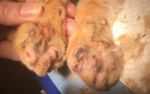 Katter kan få store og varige skader av kulda. (Foto: Dalane Dyreklinikk)