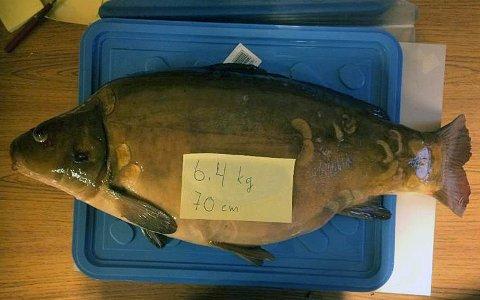 GIGANT: Karpen på 6,4 kilo og lengde på 70 centimeter ble tatt i Heivannet.