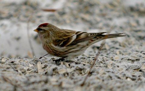 INVASJONSÅR:Har du sett denne, en gråsisik, på fuglebrettet i vinter. Du er ikke alene.