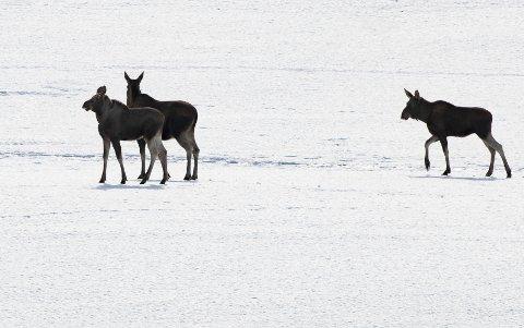 UTRYGG IS: Isen skaper trøbbel for elgen om dagen. Her ser man elg på bytur på Lillehammer. Elgku med to kalver løp over jordet bak Olympiaparken på Lillehammer. (Illustrasjonsfoto)