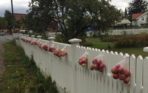 FØRSTEMANN TIL MØLLA: Inger Garås har i det siste hengt opp poser med epler til forbipasserende. Her er det førstemann-til-mølla-prinsippet som gjelder.