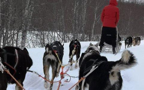SAFARI: Mattilsynet vurderer å politianmelde Tommy Eliassen som driver med sledehunder i Gratangen.