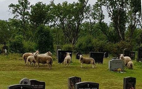SAUER PÅ KIRKEGÅRDEN: Flere sauer hadde tatt seg inn på kirkegården i Birkestrand i Tana tirsdag.