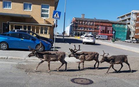 TIL BESVÆR: At rein tidvis besøker Hammerfest sentrum er eksotisk for noen, men frustrerende for andre. Bilde fra september 2020.
