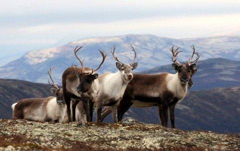 Villrein på Hardangervidda (foto Arne Nyaas)