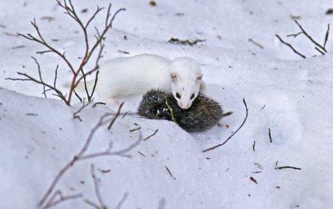 Ei lita snømus veier mindre enn et stort skoglemen. En mager trøst for sistnevnte i dette tilfellet. Foto: Hallgeir B. Skjelstad