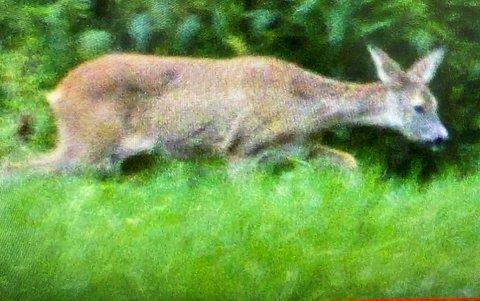 """SKOTEN: Rådyret """"Bambi"""", som har halde til i Fjærland den siste tida, er no skote."""