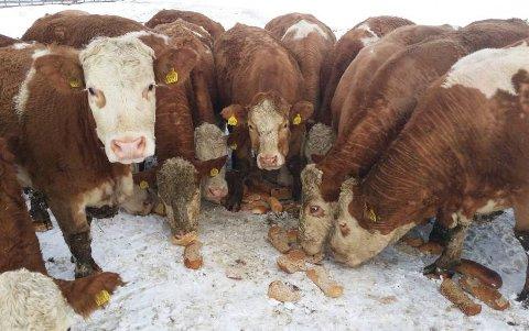 Det er ikke sikkert storfeene kan spise brødrester i fremtiden. Dette er et arkivbilde fra 2016, en gang Bjørn Gunnar Solnes sine simmentalfe (en sveitsisk storferase) spiste seg gode og mette på brødrester.