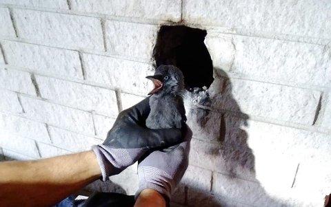 LIVBERGING:Kaie hentes ut av veggen i huset på Bjertnestangen.