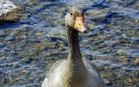 FUGLEINFLUENSA: Tre syke fugl ble funnet i havnebassenget i Son, alle med symptomer på fugleinfluensa. Prøver ble tatt  30. juni. Veterinærinstituttet har nå bekreftet diagnosen.