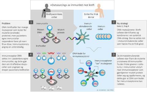 GRAFIKK: Friske immuncellers egenskaper kan gjenkjenne endringer i kreftceller, og overføres genetisk til pasientens immunceller. Illustrasjon: Ellen Tenstad, Science Shaped.