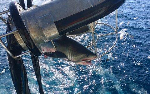 STORT GLEFS: Denne haien bet seg fast i sildepumpen på fiskebåten Ligrunn, mandag formiddag.