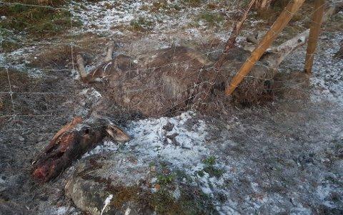 SATT SEG FAST: Nok en elg har satt seg fast her, forteller Frank Rune.