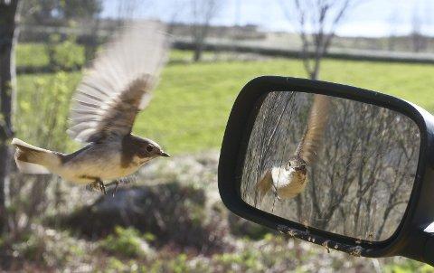 Svart hvit fluesnapper: Til angrip på eget speilbilde. Tatt med 40mm med fjernstyring.