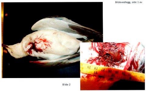 SKUTT: Obduksjonen fra Veterinærinstituttet slår fast denne fiskemåsen, funnet i Tromsø i november, ble skutt.