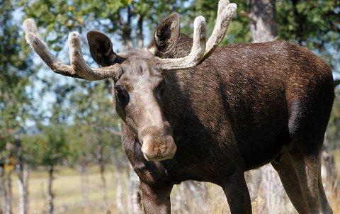 NÆRGÅENDE: Elgen som i det siste har blitt observert på Grønnliåsen i Oppegård er så nærgående, at kommunen nå advarer lokalbefolkningen.