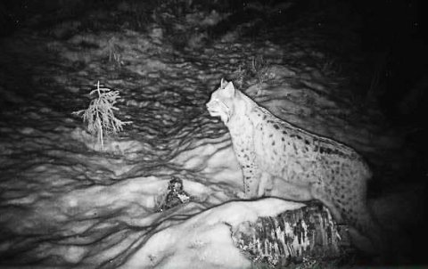 Gaupa er aktiv i områdene nord for Langvatnet. Her er hun fanget av et viltkamera.