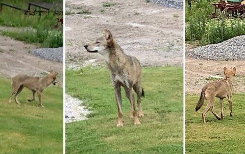 IKKE REDD: Her trasker ulven bekymringsløst rundt på gården til Jan Roger i Råde.