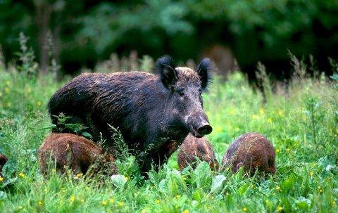 Villsvinet øker i antall: Flere har fått øynene opp for villsvinjakt. Villsvinet kan jaktes hele året. Men det er ikke tillatt å jakte mødre med unger. (Arkivfoto: Scanpix)