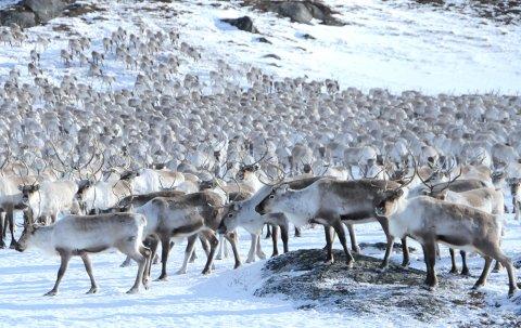 STOR LETTELSE: I naboterrenget til Nordfjella villreinområde er det i vinter slaktet 2.249 tamrein uten tegn til skrantesjuka.