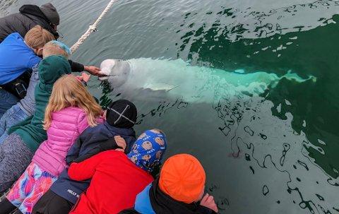 SOSIAL: Belugahvalen ser ut til å trives godt i Hammerfest havn.