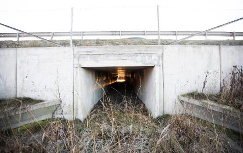 PERFEKTE FORHOLD: Årsaken til at kulvertene er såpass store er på grunn av lysforholdene. Hadde det vært for mørkt ville spissnutefrosken snudd inne i tunnelen. Foto: Lisbeth Lund Andresen