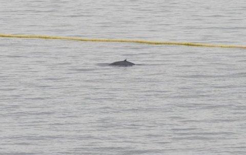 SNUDDE I DØRA: Teamet observert 20 hval i eller ved fangstanlegget i løpet av fire uker med feltarbeid. Torsdag 24. juni dukket det opp en vågehval i perfekt størrelse, men den snudde i døra, bokstavelig talt.