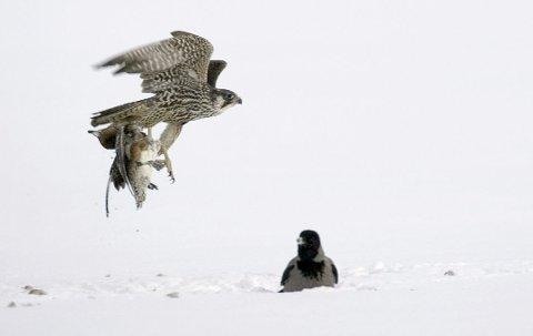 LYNRASK: Vandrefalken er verden raskeste fugl. Dette bildet er ikke en av Oslo-falkene. Foto: Jan Kåre Ness/NTB scanpix