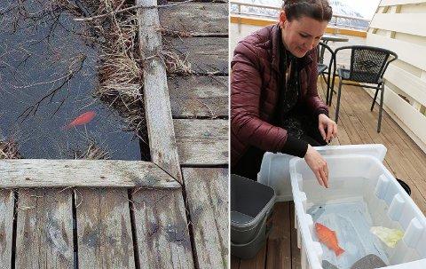 KALD FISK: Slik ble gullfisken «Gulliver» funnet sist helg. Irene Mercer tok på seg oppgaven som koordinator for redningsaksjonen.