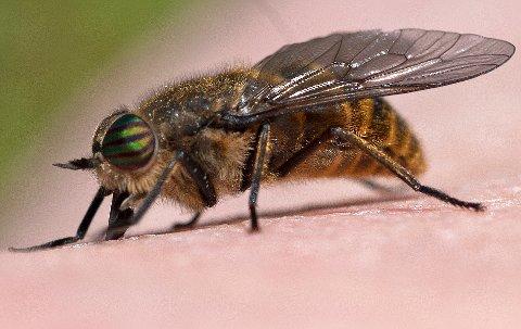 PÅ TOKT: Dette bildet tok entomolog Arne C. Nilssen på Hamarøy nylig. Varmere vær kan gi full mygg- og kleggfest i nord.