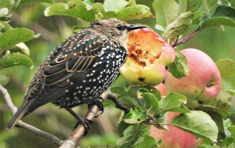 En flokk stær kan ødelegge mye frukt på kort tid. Denne pip-pipen koste seg veldig med et eple på Teie forleden.