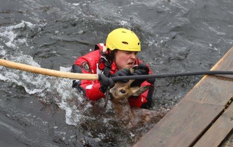 Håvard Tveten fra Grenland brann og redning får tak i rådyrbukken på Stathelle.
