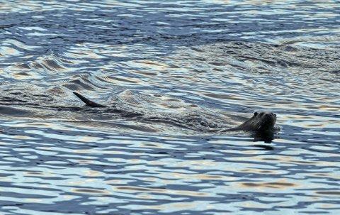 Oteren har gjort et oppsiktsvekkende comeback langs kysten de siste 30 årene – snart er den nok tilbake langs elver og vann på Romerike også.   Foto: Hallgeir B. Skjelstad