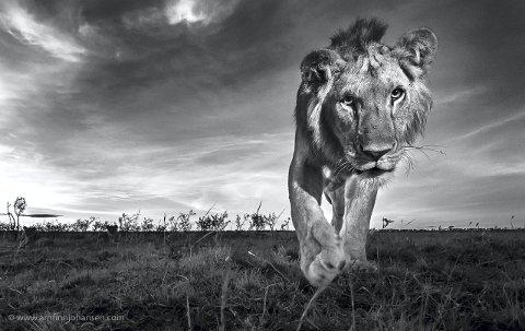 Quizzical Cat: For dette nærbilde av en løve har Arnfinn Johansen fra Røyken fått 1.-plassen i den verdensomspennende konkurransen Por El Planeta 2015. Bilde har han tatt med en fjernstyrt Nikon D4s, Nikkor 16-35/4 VR at 18mm, 1/160 sec at f/22. ISO 2500.Foto: Arnfinn Johansen