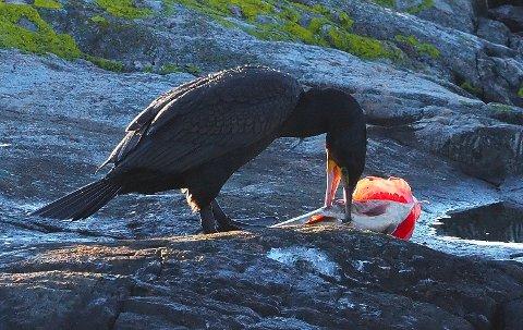 Lekkerbisken: Den store torsken ble dratt på land i Snaresund.