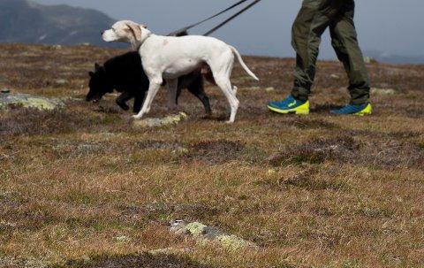Hund i band: Den rugande boltiten i framgrunnen kan kjenne seg trygg denne gongen. Heldigvis har dei fleste, som her, kontroll på hundane sine. I perioden 1. april til 20. august er det generell bandtvang i heile landet.