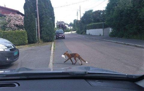 MATVETT: Denne reven fotografert i Marienlundveien på Holtet har klart å skaffe seg mat på egenhånd, men det er nok dessverre på bekostning av noens kjæledyr.