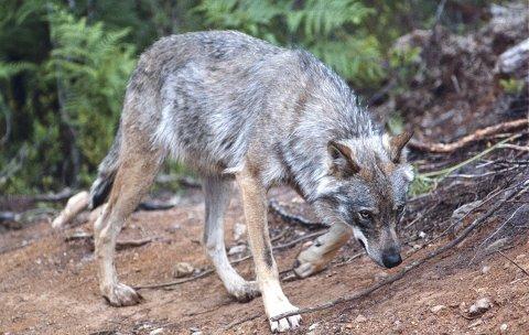 SPRIKER: Forvaltningen av ulven spriker i alle retninger. (Foto: NTB scanpix)