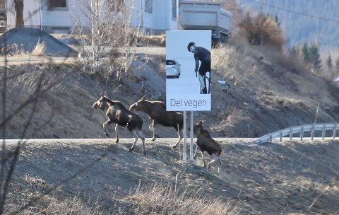 BLINKSKUDD: Del vegen, sier Statens vegvesen. Ja takk sier de tre elgene på vei til nytt beite. FOTO: ARILD RANUM