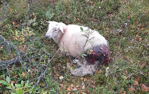 ØDELAGT: Lammet til Geir Inge Hegseth Steien hadde store skader, og måtte avlives.