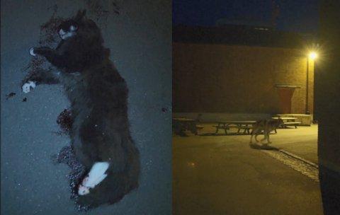 DREPT KATT: I en videoe som ble delt blant elevene ved Lillestrøm videregående skole, ble det først filmet en død katt, før man så en ulv løpe rundt hjørnet i skolegården. Nå viser det seg at videoen var falsk og en del av et manipulasjonsprosjekt.