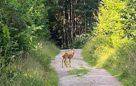 TRIST: Kristin Nordli jogget med hunden sin i bånd da de så denne rådyrgeita stå midt i veien. Kristin tok dette bildet og avbrøt turen og gikk tilbake. En annen dame, som ikke hadde hund, gikk litt nærmere for å se , og da fant hun en skadet kalv i grøfta.