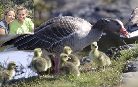 Britt Elisabeth og Øyvind Fossdal forsøkte med fredelige midler å bli kvitt grågåsene, men til ingen nytte. Forøvrig var det bare ett av parene som hospiterte hos dem, som hadde unger. De fikk gå i fred.