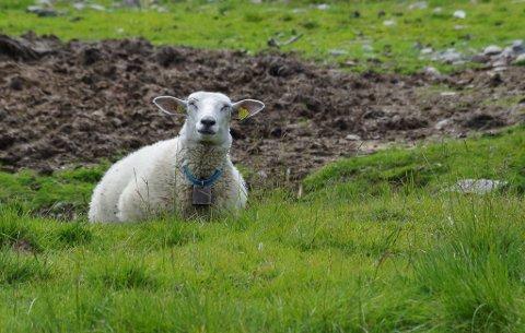 SAU PÅ BEITE: Forebyggende tiltak skal begrense skadene rovvilt gjør på husdyr og tamrein. Konfliktdempende tiltak skal begrense ulemper for lokalsamfunn og andre grupper, fremgår det på Fylkesmannens nettside.