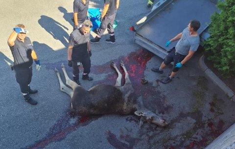 Viltnemda fikk oppgaven med å avlive den skadde elgen.