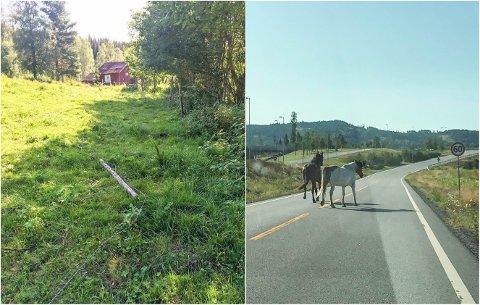 PÅ RØMMEN: Fredag morgen var strømgjerdet til hestene løpt ned fra utsiden. Dermed tok de to en kort spasertur.