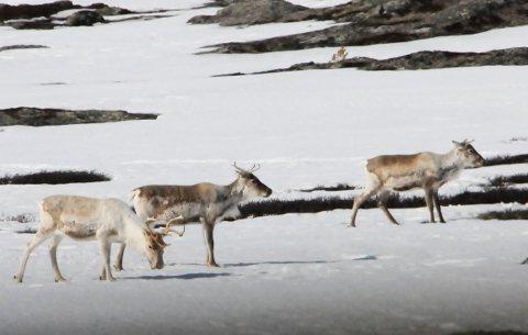 PÅ FILM: Villreinen i Rondane skal filmes gjennom vinteren for å kartlegge omfanget av sjukdommen fotråte.