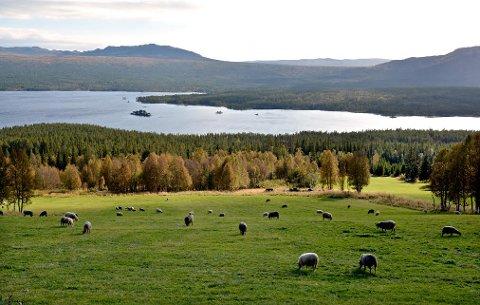 FÆRRE SAUER: I årene 2014-2016 ble det totalt utbetalt erstatning for 40 sauer som er tapt til fredet rovvillt i Nore og Uvdal. I de tre årene 2012-2014 var det tilsvarende tallet 280 sauer. Her er noen eksemplarer av arten ved Tunhovd.
