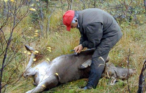 ELGJAKT: Det er gitt tillatelse til at tre dyr, fordelt på to vald, kan felles i Vestvågøy i år. Ill.foto
